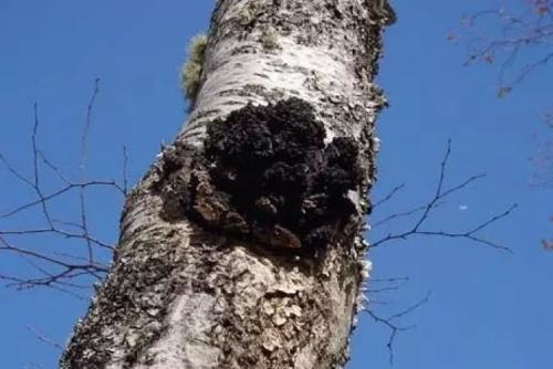 白桦茸桦褐孔菌