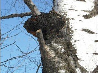 俄罗斯白桦茸