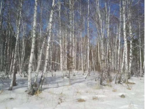 白桦茸俄罗斯